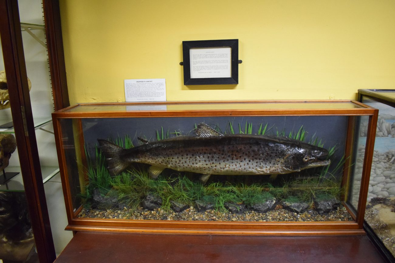 Peppers Ghost large browntrout Salmon in the Natural history museum of ireland