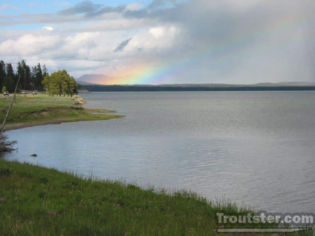 Yellowstone Lake trout are endangering the native cutthroat trout population