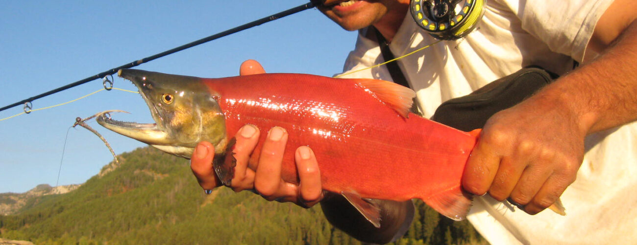 Spawning sockeye salmon caught with a fly rod