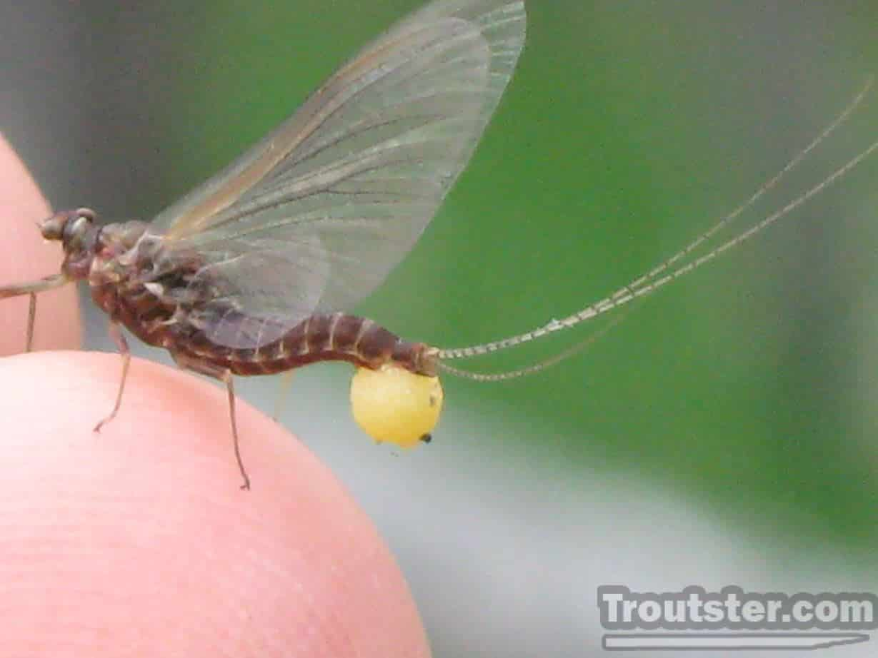 A close up shot of a female mayfly with eggs present