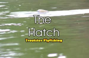 The mayfly hatch - big trout eating mayflies
