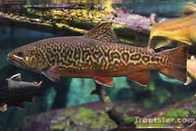 tiger trout, tiger trout facts, tiger trout size, tiger trout pictures