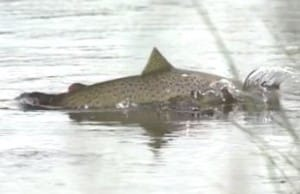brown trout jumping for fly