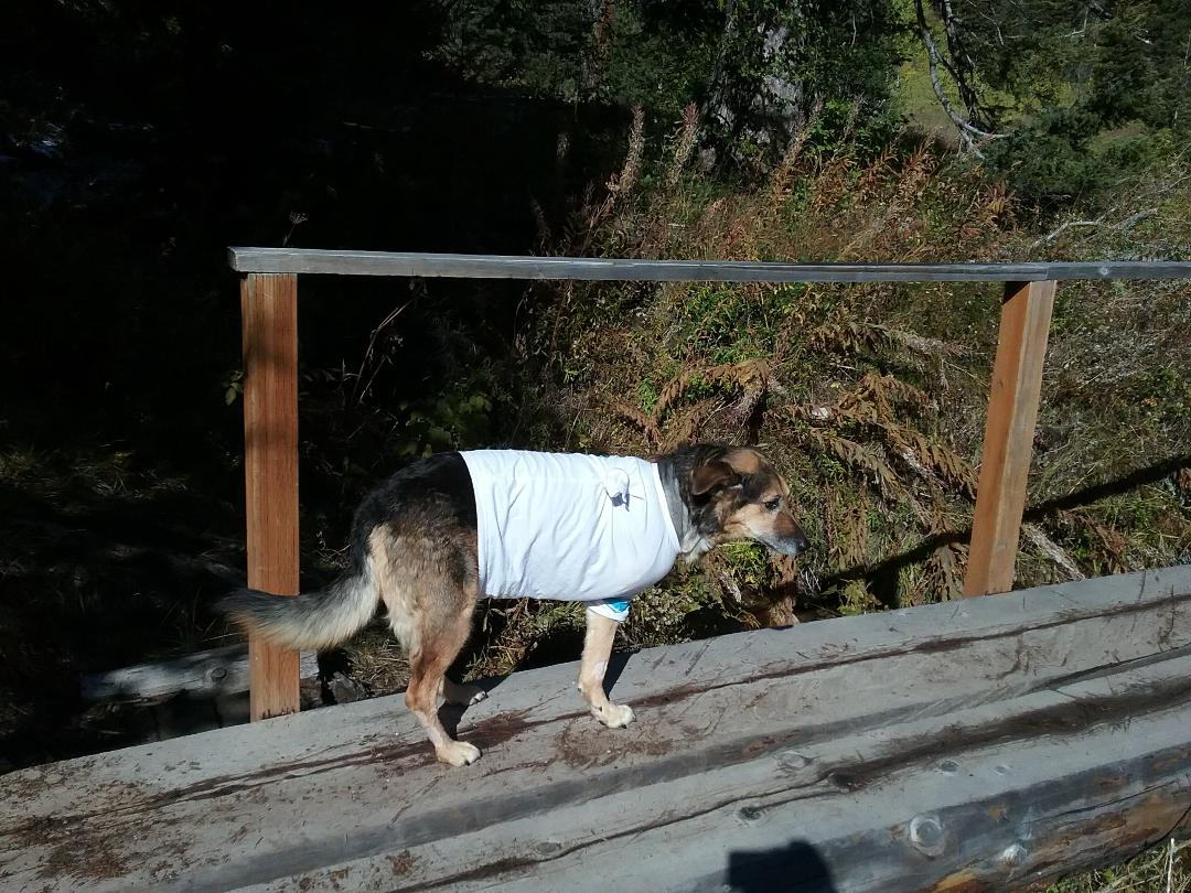 """My dog has bone cancer and had to have a leg amputated. Here she is 2 days after surgery on a very short """"potty hike"""" by Jackson Wyoming"""