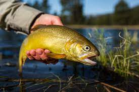 gila trout pictures image