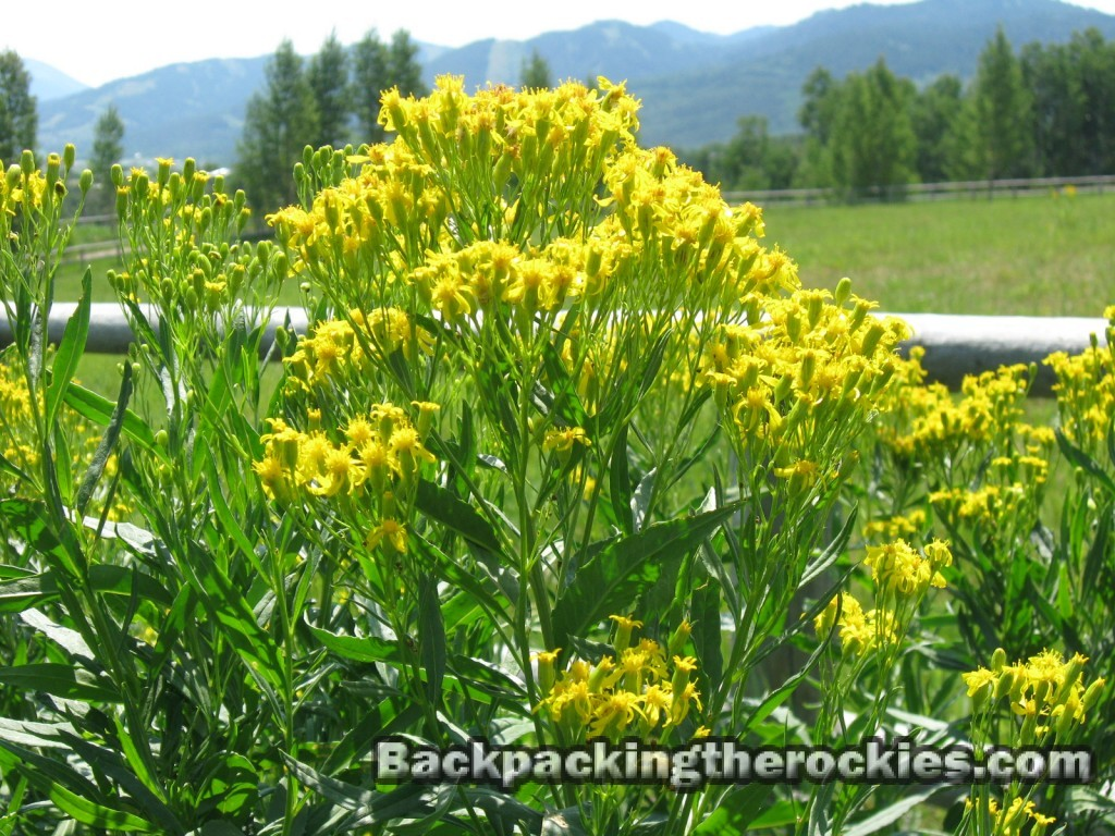 goldenrod is edible