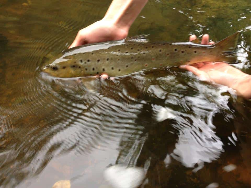 Catching and releasing a brown trout