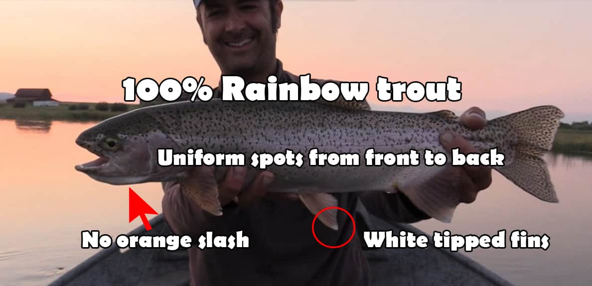 rainbow trout vs cutbow, How to identify a cutbow trout, cutbow trout identification, cutbow trout pictures, cutbow fish, are cutbow trout sterile